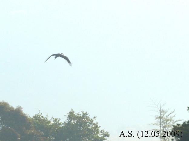 Photos: ナベコウ幼鳥