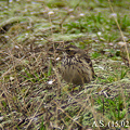 Photos: Rosy Pipit(2月中旬)