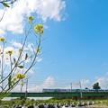 Photos: 菜花咲く頃