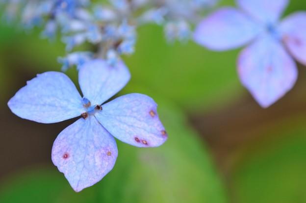 【紫陽花 クロヒメアジサイ】(3)