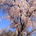 Photos: IMG_6401京都府立植物園・紅枝垂桜
