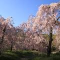 Photos: IMG_6412京都府立植物園・紅枝垂桜