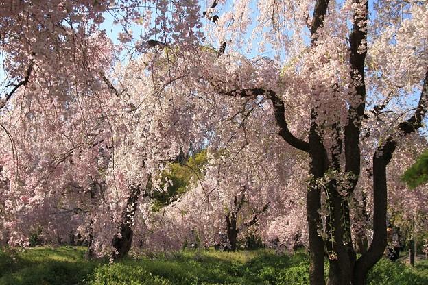 IMG_6420京都府立植物園・紅枝垂桜