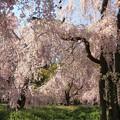 Photos: IMG_6420京都府立植物園・紅枝垂桜