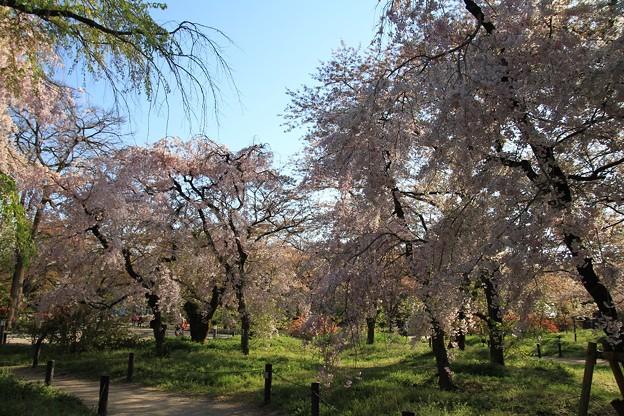 IMG_6445京都府立植物園・紅枝垂桜