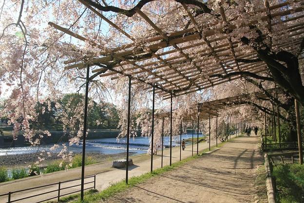 IMG_6451半木の道・紅枝垂桜