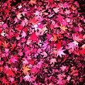 写真: 秋色じゅうたん