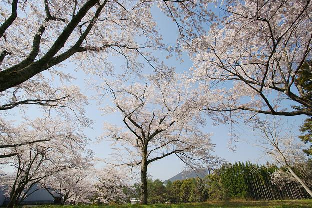 桜の大石寺