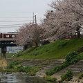 竜田川、桜散歩。(近鉄生駒線:奈良県)