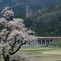 老桜と国鉄色。(湖西線:滋賀県)