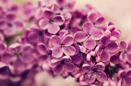 6-lilac