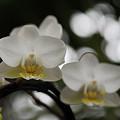 Photos: 純白に咲いて