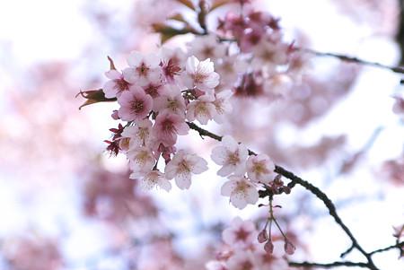 桜が咲いてました