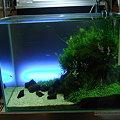 2009年度 第27回日本観賞魚フェア 水槽ディスプレイコンテスト 60cm水槽の部 準優勝