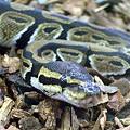 Photos: ボールパイソン(Python regius)