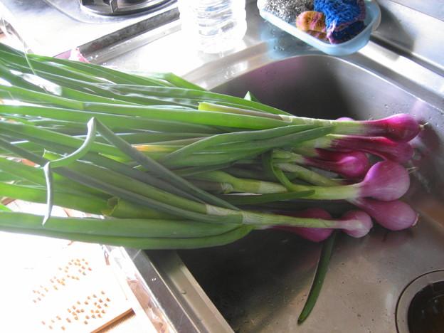5月11日、赤玉ねぎ収穫
