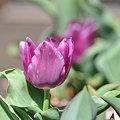 写真: 2009-03-24 チューリップ
