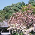 Photos: 高乗寺の八重桜