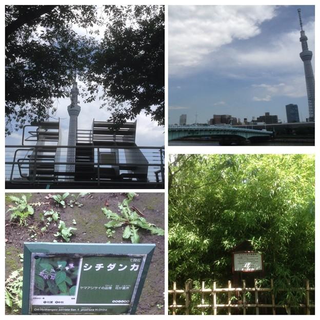 隅田公園紫陽花めぐり4