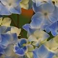 写真: 紫陽花03
