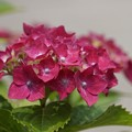 写真: 紫陽花10