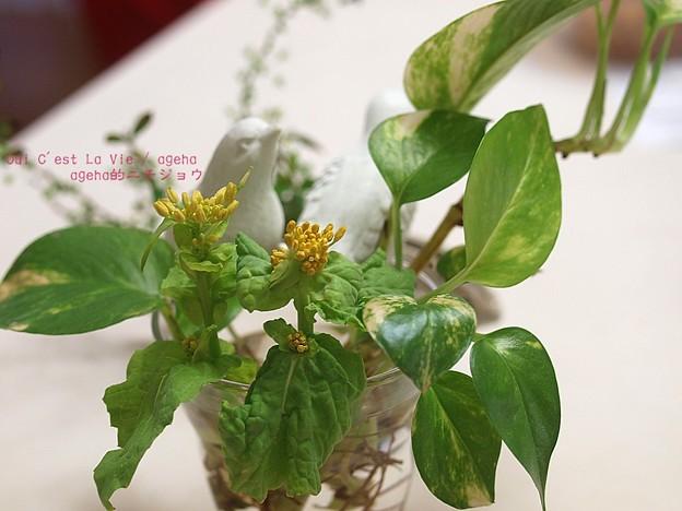 菜の花は(おひたし用)