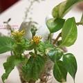 Photos: 菜の花は(おひたし用)
