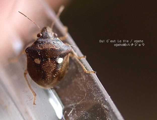 白丸がツマグロヒョウモンの脱皮直後蛹に似てる。(←マニアック)