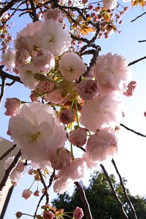 八重束櫻花