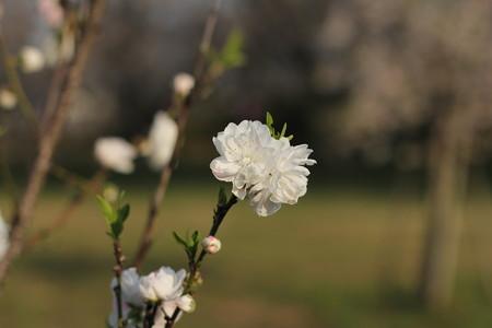 福岡堰の花