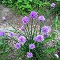 Photos: チャイブの花