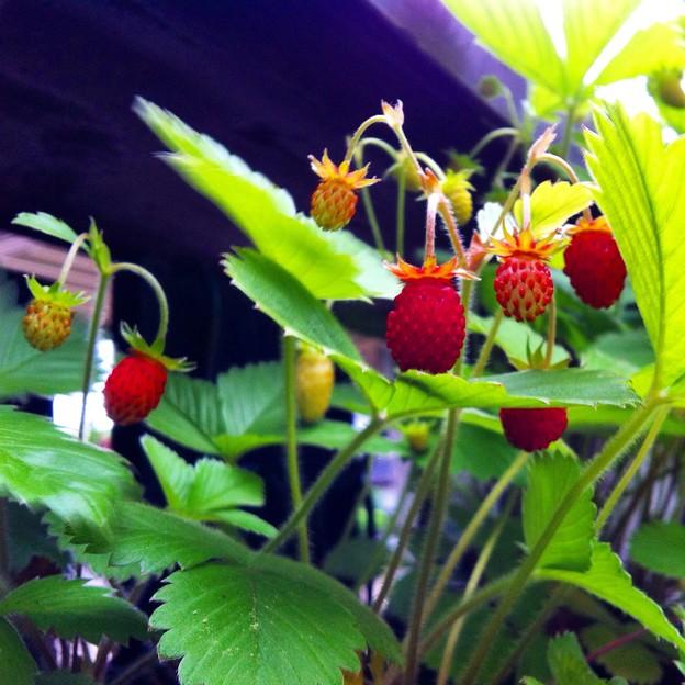 Wild strawberry red