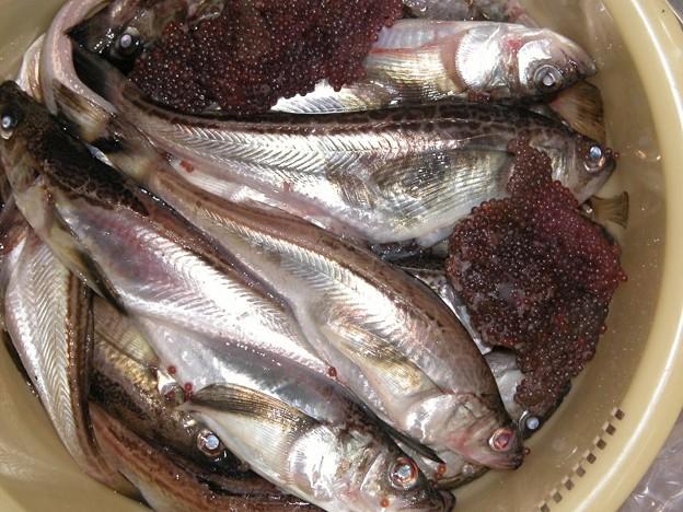 秋田名物 鰰(ハタハタ)、ぶりこがお腹から出てるので売り物にはならないそうです。秋田県岩館産