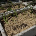 Photos: サツマイモ植え付け6