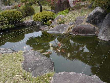 鯉さんが泳いでますよ
