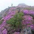 Photos: 霧の中のミヤマキリシマと、平治岳副峰