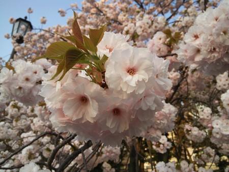 皇居外苑の八重桜04