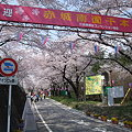 Photos: 赤城千本桜