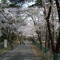 Photos: 赤城千本桜3