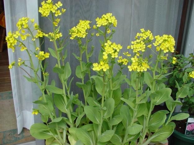 チンゲンサイの花2