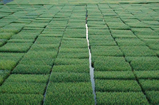 稲作パッチワーク