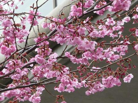 090401-MM21の桜 (8)