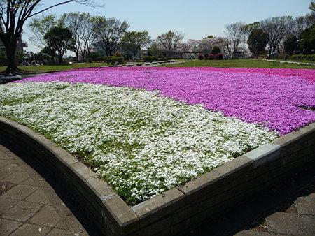 090409-野毛山公園の芝桜