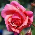 Photos: ラデュレ2014.5.7咲き始め
