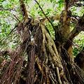 ターザンの木
