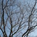 Photos: まだ咲かぬ桜さん