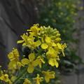 ふわり菜の花1