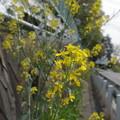 ふわり菜の花2
