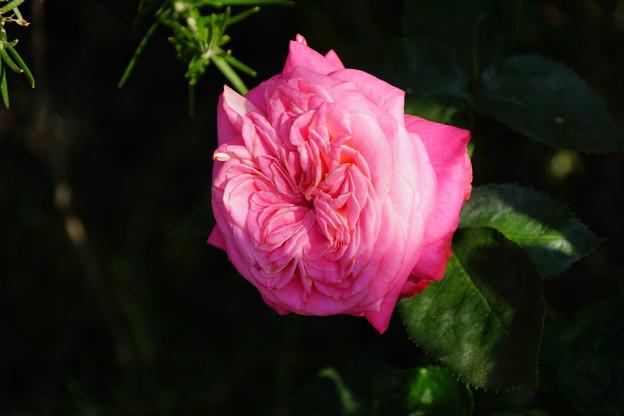 深冷な薔薇