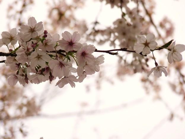 写真: 鶴舞公園の桜